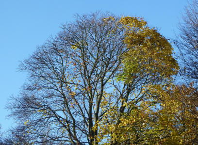 Autumn leaves on tree in Priory Park
