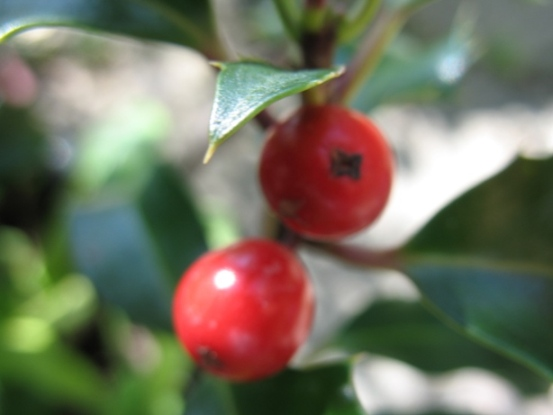 Two red holly berries