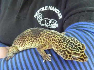Petts Wood May Fayre - Reptile Events - Jane with Nutty the Leopard Gecko