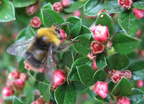 Bee on cotoneaster bush