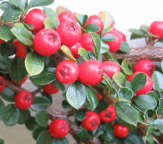 Thank you bees - cotoneaster berries